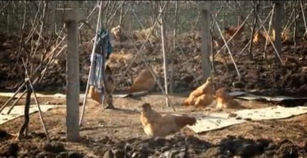 散养果树下-虫草鸡